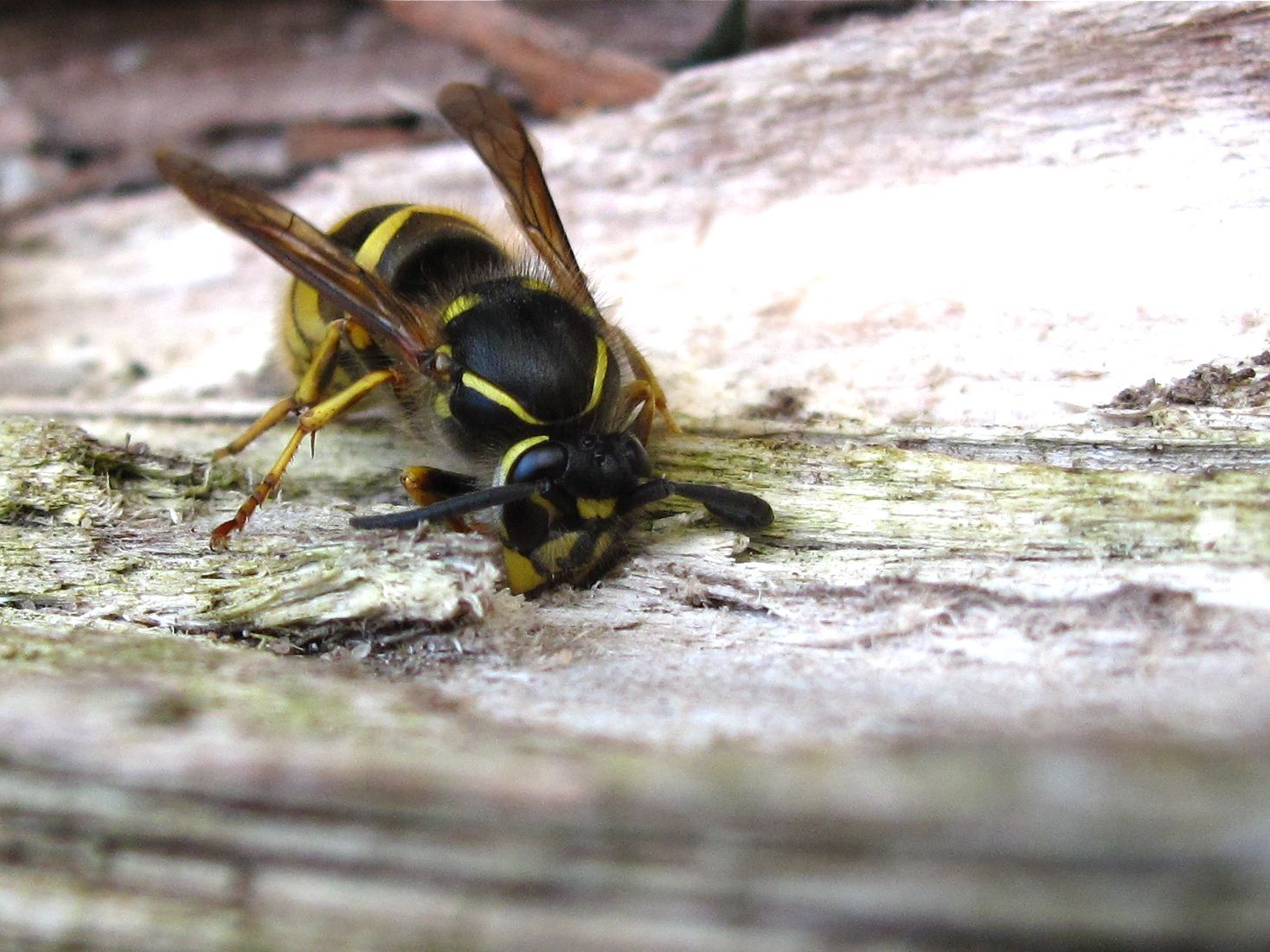 Queen Paper Wasp Queen common wasps (vespula
