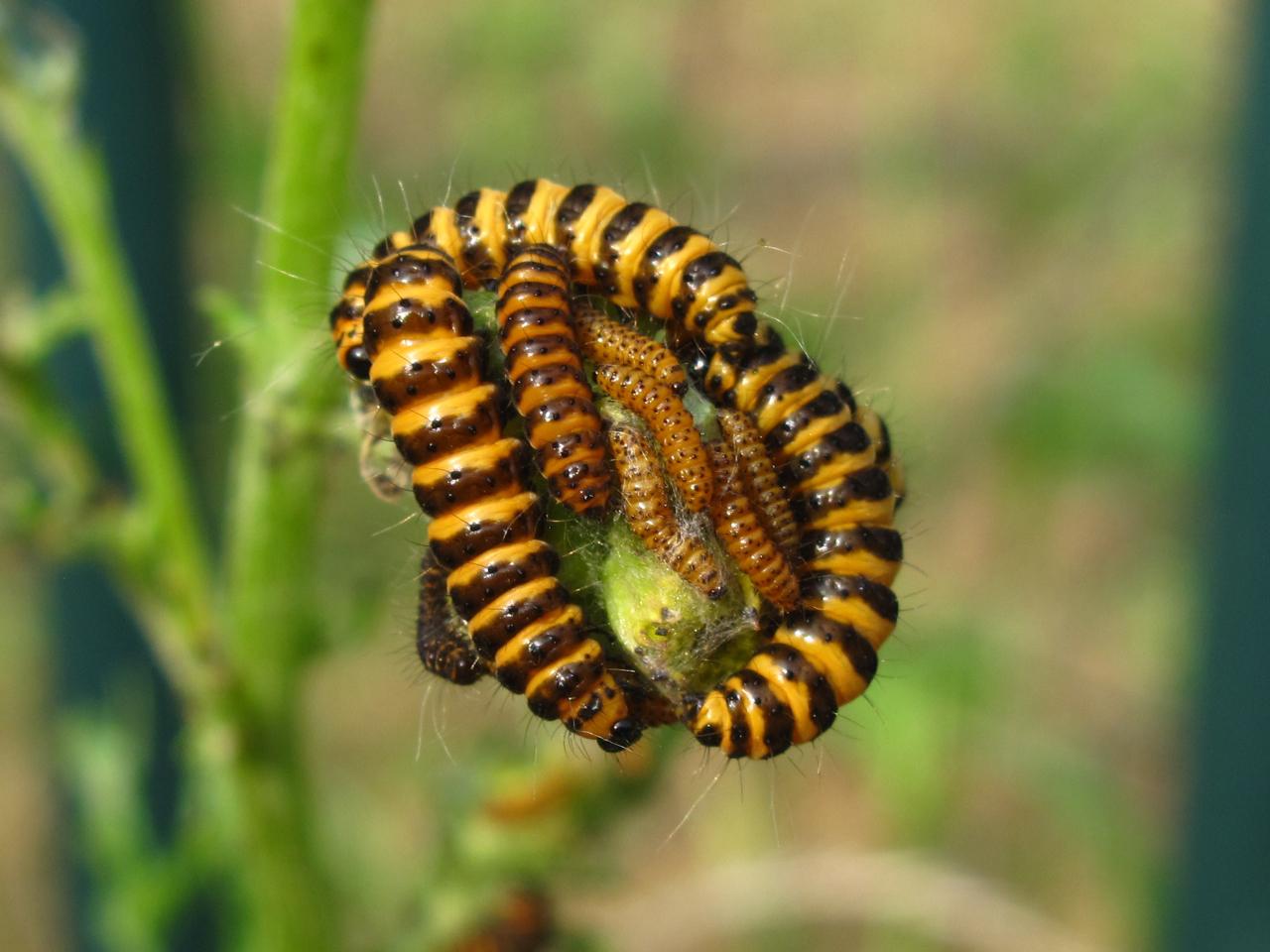 bugblog cinnabar moths and caterpillars