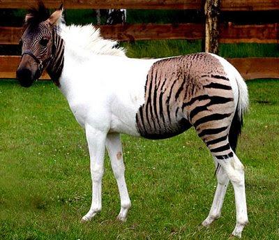 Zebra-Horse