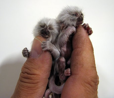 Smallest-Monkey