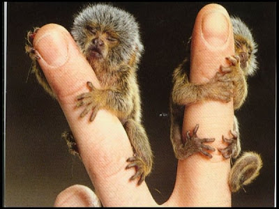 Smallest-Monkey