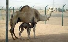 cloned camel