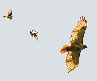 red-tailed hawk being mobbed