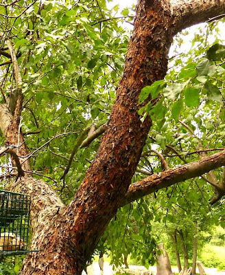 Crab Apple Tree damaged by woodpeckers