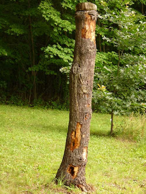 pine trunk with woodpecker holes