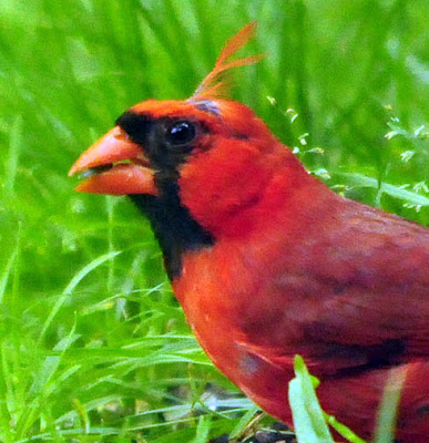 Northern Cardinal close-up