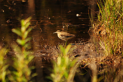 Solitary Sandpiper
