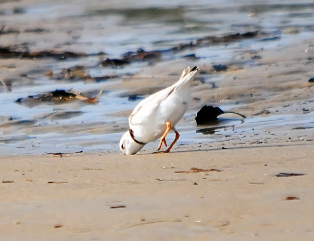 Adult Piping Plover feeding