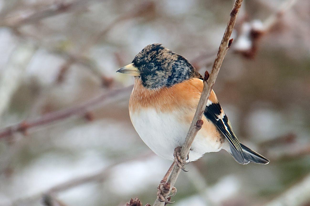 rødspætte fugl