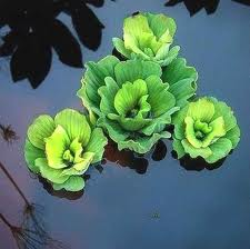 Clean plants aquatic plants that purify water for Pond plants names