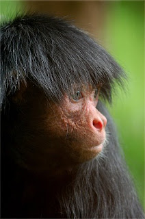 world monkey photos red faced spider monkey found in south america in brazil guyana and french guiana