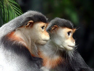 world monkey photos red shanked douc also known as costumed ape found in asia in vietnam and laos