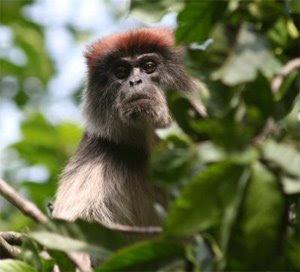 world monkey photos ugandan red colobus found in africa tanzania uganda rwanda burundi