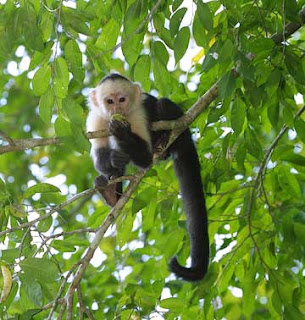 world monkey photos white faced white fronted spider monkey found in south america in brazil ecuador colombia peru venezuela and bolivia