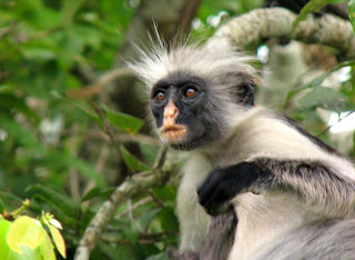 monkey photos zanzibar colobus african