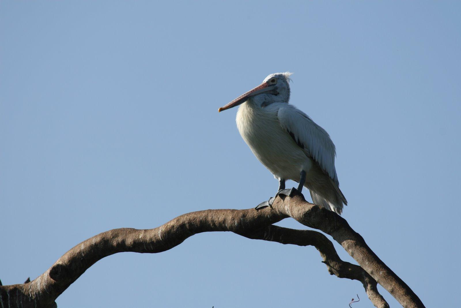 [spot-billed-pelican]