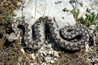 Night Adder Snake