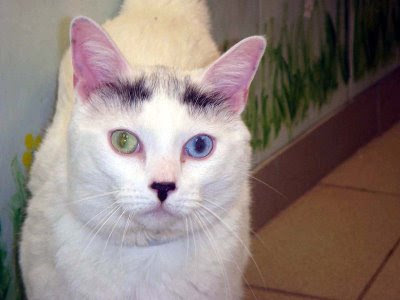 green and blue eyes cat