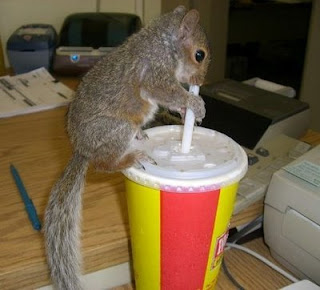 funny squirrel photos drinking soda with a straw pic