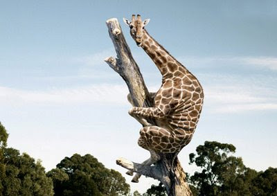 funny giraffe stuck up in a tree photo or hiding from a lion