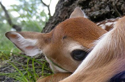 really cute deer photo playing peek a boo with big brown eyes pic