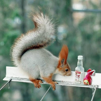 funny squirrel photo with bottle of vodka and chocolate