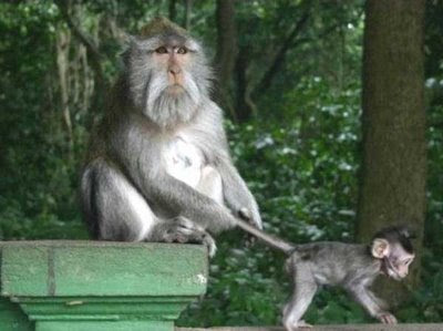 funny crazy photo of monkey baby parent holding it back by grabbing tail