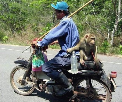 funny monkey photo riding on the back of a motorbike with driver
