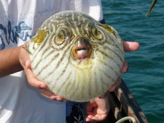funny animal photos puffy blowfish