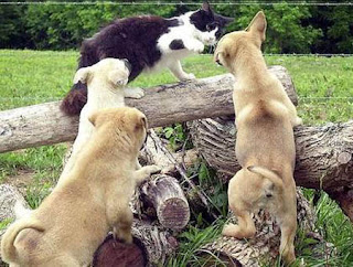 funny black and white cat and three dogs fighting