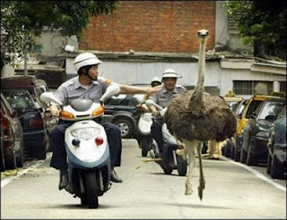 funny crazy animals escaped ostrich running down road followed and chased by police on little motorbikes