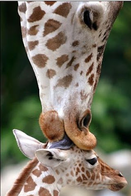 funnu animals cute giraffe photo mother licking young baby giraffe calf