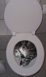 crazy funny tabby cat sleeping in toilet bowl