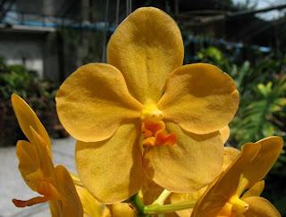 Orchid at Phuket Zoo