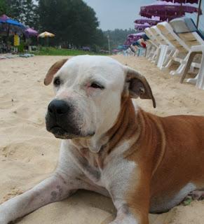 Karon Beach Dog