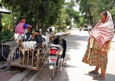 Goats going for a ride, Koh Yao Noi