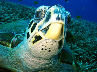 Turtle at the Similans