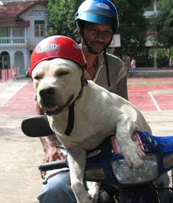 Dog on Motorbike in Phuket. Yes, dog IS wearing a helmet.