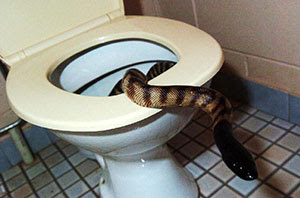 Snake on the toilet