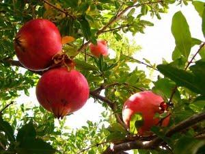 Συνεργασίες για την καλλιέργεια ροδιάς στον Έβρο