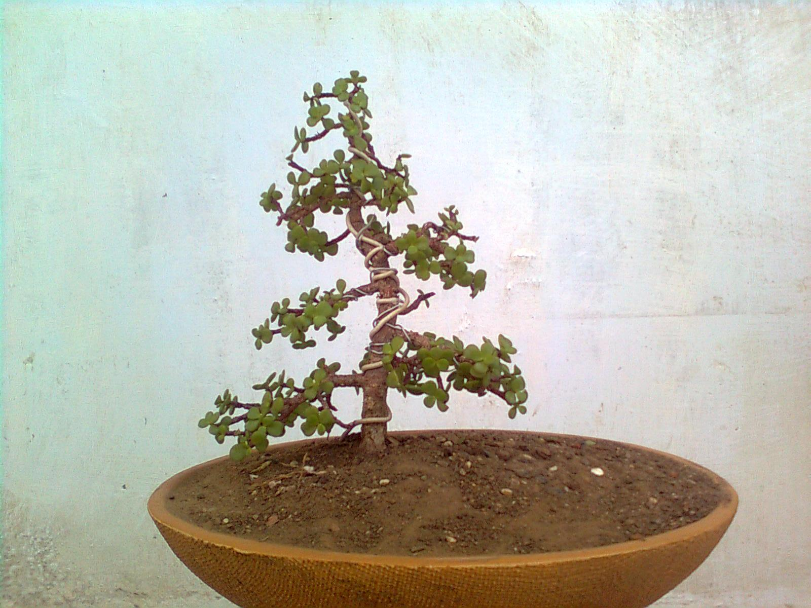 Bonsai Collection Of A Member Of Ahmedabad Bonsai Club August 2009