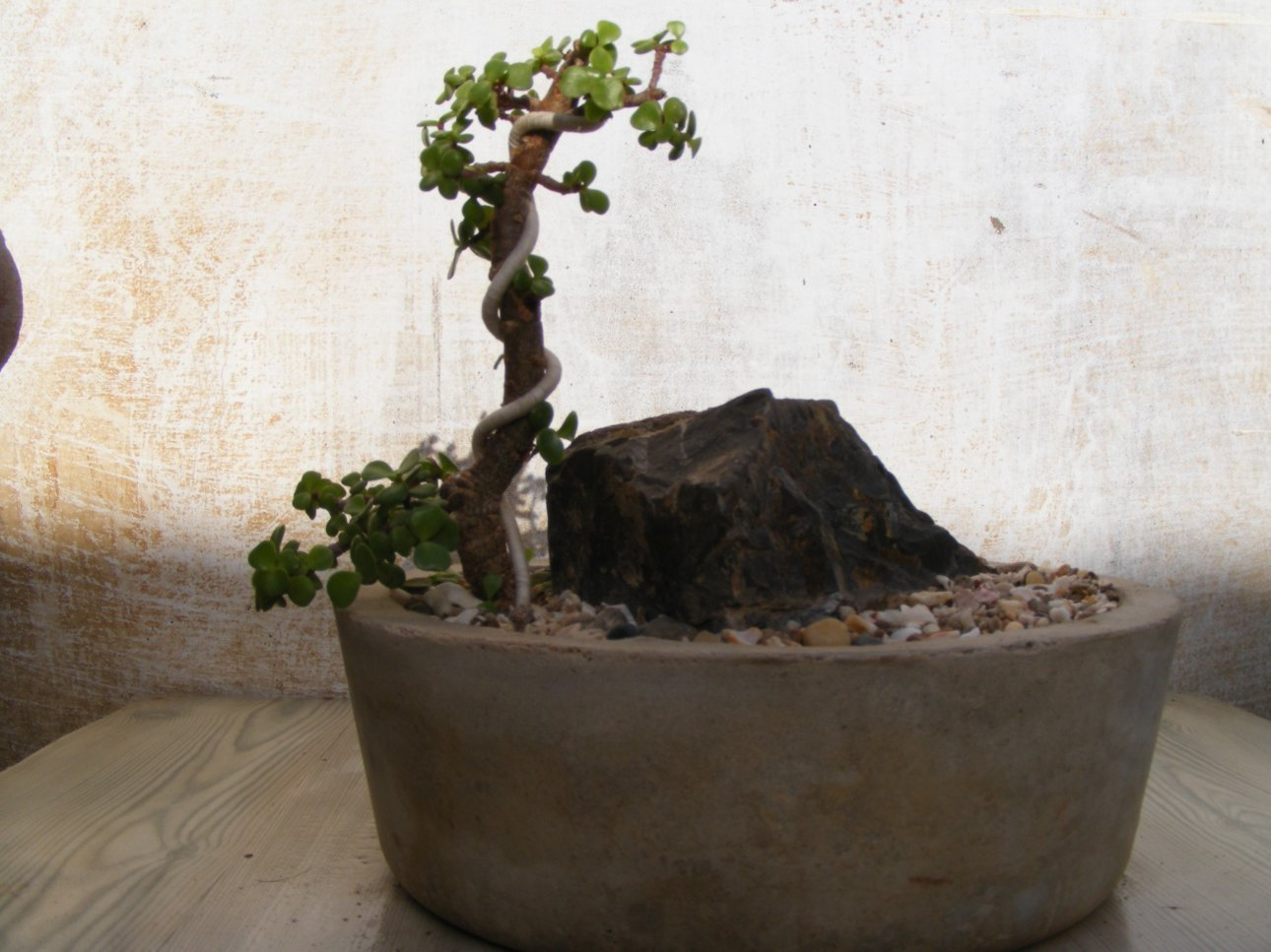 Bonsai Collection Of A Member Of Ahmedabad Bonsai Club Jade