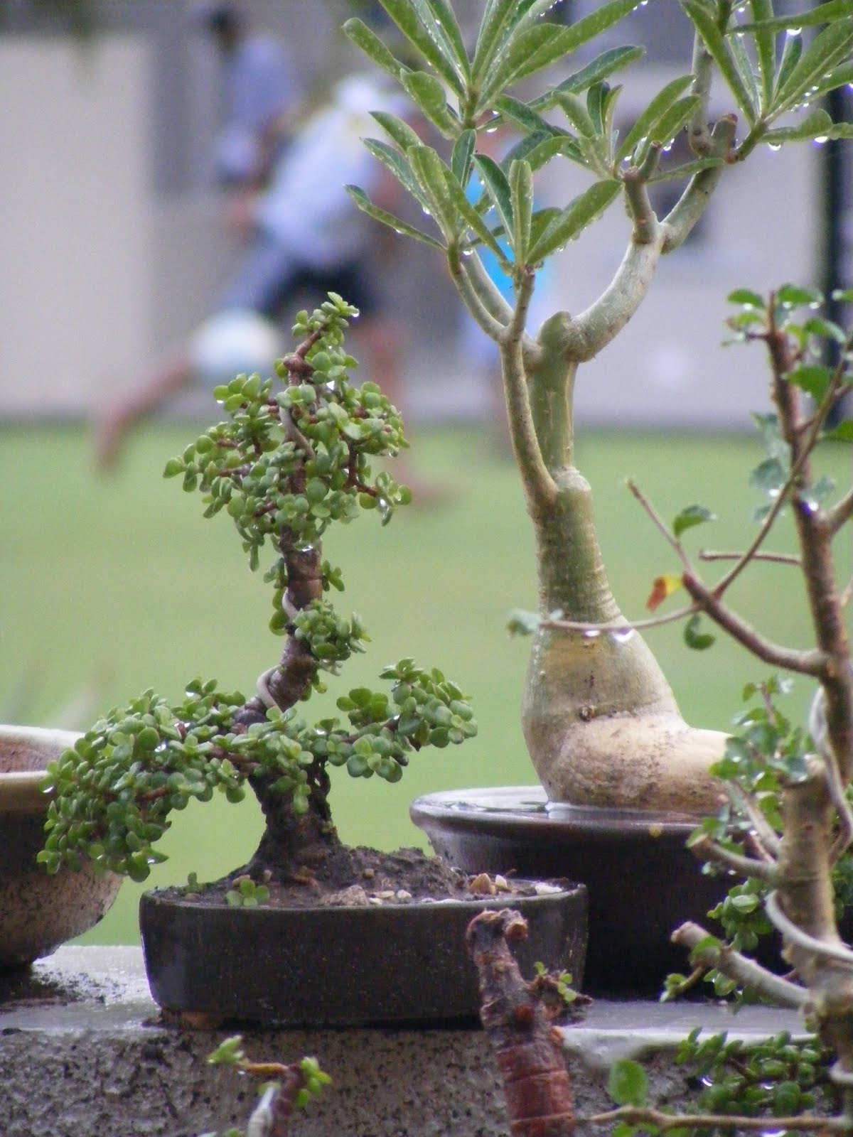 Bonsai Collection Of A Member Of Ahmedabad Bonsai Club