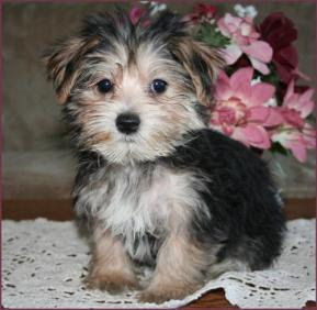 Morkie Puppies on This Is A Morkie   Part Maltese Part Yorkie     Now I Think She Is