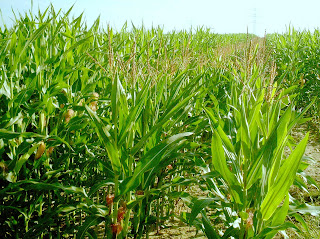 maíz corn