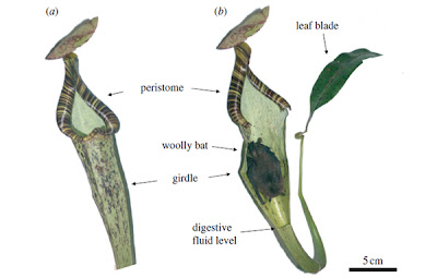 murcielago planta carnivora
