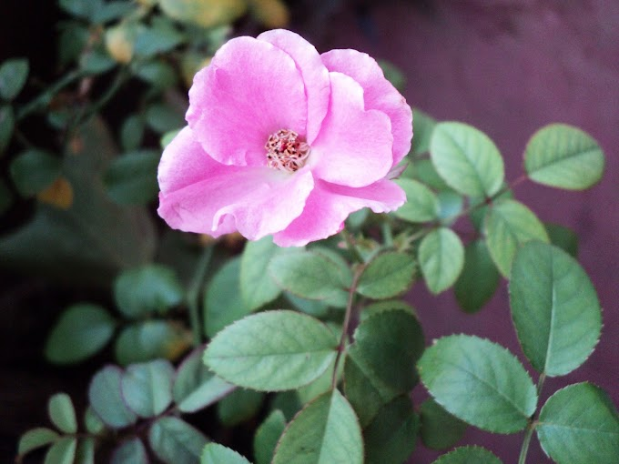 Indian rose-Pink Rose flower in garden
