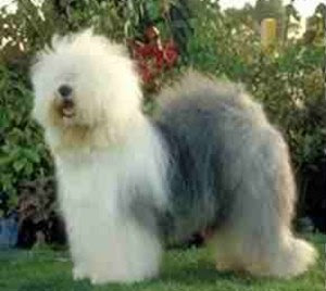 �������� ������� �� ����� ������ ������� OldEnglishSheepdog.j