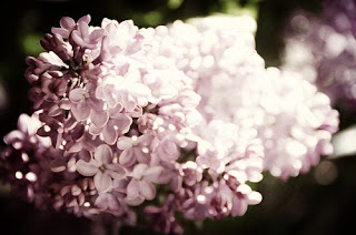 muted lilacs