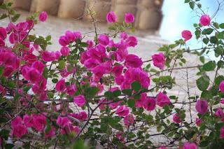 bouganvilla losing petals high heat